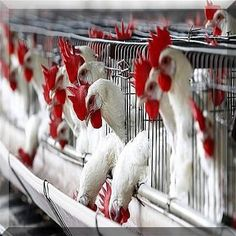 Poultry Farming Guide