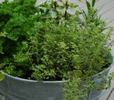Container herb gardening tips like which herbs need which kinds of containers and moisture levels