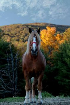 I met this horse!!!!!  He the biggest horse in North America! Zeus - New Hampshire