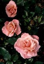 Easy Rose Propagation - This site has the best information I have read so far. Rose Propagation, Rose Cuttings, Easy Rose, Simple Rose, Rooting Roses, Grandmas Garden, All About Plants, Rose Care, Rose Family