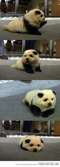 Panda Dog  @Nicole Novembrino Novembrino Novembrino Novembrino Turner too cute for words