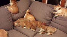 """awwww-cute: """" Ohh, so where do I sit """" couch full of Akitas!!! I want that!!"""