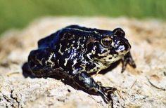 Black Toad(Anaxyrus exsul)