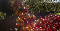 El lavado de la manzana es uno de los momentos de mayor plasticidad, brillo y colorido de este viaje. Y por supuesto es crucial para la elaboración