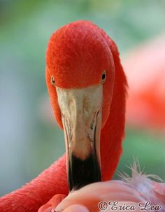 Pink Flamingo Photo, Coral Bird Photography by NatureVisionsToo, $15.00 #beach #nature+photography