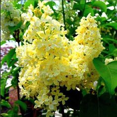 """Butter Yellow"" French Lilac"