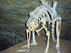Procoptodon goliah, also known as the giant short-faced kangaroo was a species… Dinosaur Fossils, Extinct Animals, Life Form, Epoch, Fauna, Under The Sea, Dinosaurs, Archaeology, Mammals