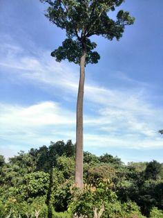 solitary tree @taman pertanian park shah alam