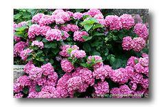 hydrangea ou hortensia