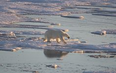 Polar Bears, Around The Worlds, Canada, Amazing, Travel, Animals, Animales, Trips, Animaux