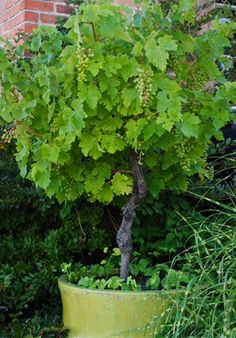 Grapes can be trained into patio trees/ this in the orchard/veggie garden. Fruit Garden, Edible Garden, Vegetable Garden, Edible Plants, Grape Tree, Grape Vines, Grape Plant, The Secret Garden, Patio Trees
