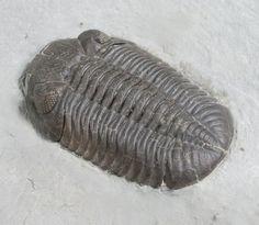 Eldredgeops trilobite