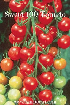Sweet 100 Tomato - how to grow it with Tomato Dirt Cherry Tomato Plant, Tomato Plants, Tomato Tomato, Growing Cherry Tomatoes, Vintage Seed Packets, Uses For Coffee Grounds, Wheat Grass, Heirloom Tomatoes, Growing Vegetables