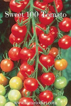 Sweet 100 Tomato - how to grow it with Tomato Dirt #GardeningTips #HomeGardening