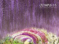 藤のトンネル~河内藤園/北九州市2011年5月8日