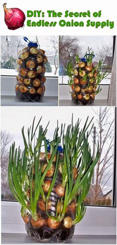Endless onion supply - How simple it would be if every time you need the onions for cooking and just simply take one and grow another in his place