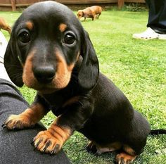This is by far the cutest dog ever👌👌👌👌👌 Dachshund Clothes, Dachshund Love, Dachshund Gifts, Dachshund Puppies, Wiener Dogs, Baby Puppies, Dogs And Puppies, Doggies, Baby Animals
