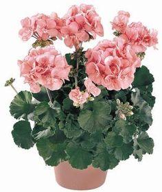 Pelargonium X Hortorum Zonal Geranium | Pelargonium x hortorum 'Tango Salmon' Zonal Geranium from Ebert's ...