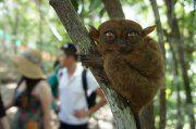 Tha cutest animals... Little Tarsiers on Bohol Island - Philippines