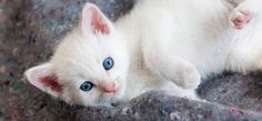 Kitten, Cute, White, Eyes, Blue