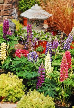 How to grow Lupins in Spring  Lupins provide candles of flower in May, when there's a dearth, and their peppery scent seems to lure in bumble bees.  http://www.saga.co.uk/lifestyle/gardening/plant-portrait/lupins.aspx