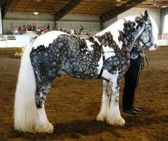Stunning . . . Tobiano Snow Flake Dapple Silver Gypsy Vanner Horse
