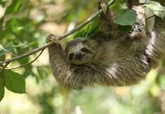 TSI is a non-profit organization based in Quepos/Manuel Antonio. Their mission is to enhance the well-being and conservation of wild and captive sloths through Smiling Animals, Cute Animals, Vacation Resorts, Vacation Rentals, Pet Portraits, Beautiful Creatures, Costa Rica, To My Daughter, Sloth