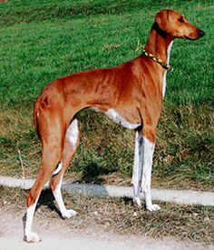 Best Guard Dog Breeds, Hound Dog Breeds, Best Guard Dogs, Unique Dog Breeds, Rare Dog Breeds, Popular Dog Breeds, Dog Photos, Dog Pictures, The Perfect Dog