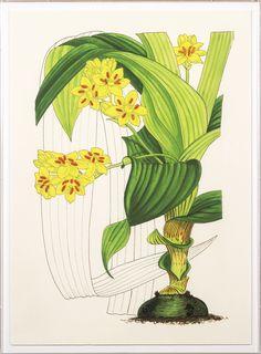 Elliottiana Lilies 3 | Natural Curiosities