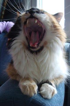 cat roar :)