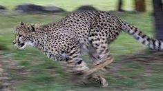 Kuvahaun tulos haulle gepardi