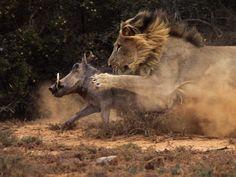 lion & warthog