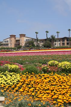 Carlsbad Flower Fields in California