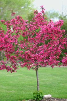Backyard-middle shade tree-prairie fire crab tree - Google Search not sure on this