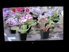 Paul Sorano of Lyndon Lyon Greenhouses on the Martha Stewart Show.  He shows how to repot, start and take care of African Violets, very informative. I  ordered some leafs that same day and they arrived in excellent shape.  I am so excited to watch them grow.