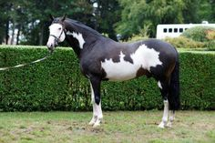 I Was Framed, Silvery Moon's sire. I Was Framed is one of only two coloured TB stallions in Europe. His lines go back to Halo.
