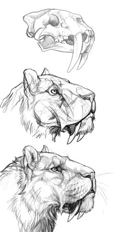 I wanted to take a shot at Smilodon study with the mindset that I do accept the possibility of them having the mastiff lips covering the canines fully, but I find such lip design not practical for ...