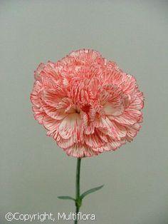 Winter Flowers: Carnations: Tatoo