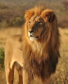 wildmoz.com-Lion-Main-Image-Animals-of-the-Kruger-Park