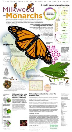 Infographic showing the multi-generational journey that the Monarch Butterfly takes from Mexico and back and facts about Milkweed decline