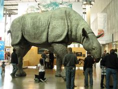 A scale model of Baluchitherium aka Paraceratherium  It was an  early relative of the rhinoceros which lived in Asia about 20 - 30 mya, and was possibly the largest land animal ever to have lived.  (photo: Neil Kelly)