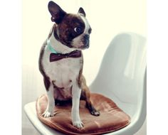 My favourite pic! The smartest looking retro boston terrier and a cool bow tie to match
