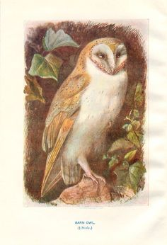 Antique Bird Print  Vintage Bird by PeonyandThistlePaper on Etsy, £8.50