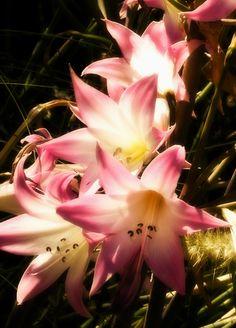"""Stack of Lillies"" - San Diego Wildlife Park, San Diego California"