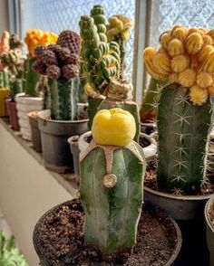 Outstanding San Pedro Cactus Ideas For Your Inspirations To Completing Your Garden Succulents In Containers, Cacti And Succulents, Planting Succulents, Cactus Plants, Planting Flowers, Cactus Care, Cactus Flower, Flower Pots, Grafted Cactus
