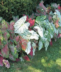i love the big leaves, reminds me elephant ears! this is another must have! shade lover, annual, Caladiums, Tropical Mix