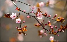 Cherry Tree Flowers Wallpaper | cherry blossom tree wallpaper for walls, cherry blossom tree wallpaper free download, cherry blossom tree wallpaper tumblr, cherry tree blossom wallpaper