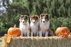 Halloween Sheltie Pups