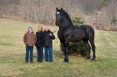 Now this is a horse. He stands 19 hands high and currently is the Percheron supreme world champion!