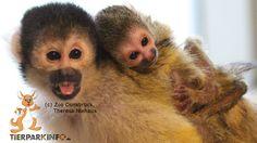 Drei neugierige junge Totenkopfäffchen +++ Three noisy little squirrel monkeys